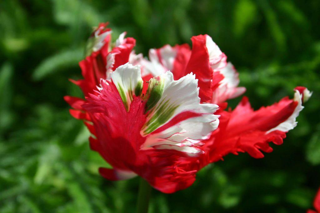 como-hacer-tulipa-azucar-tarta