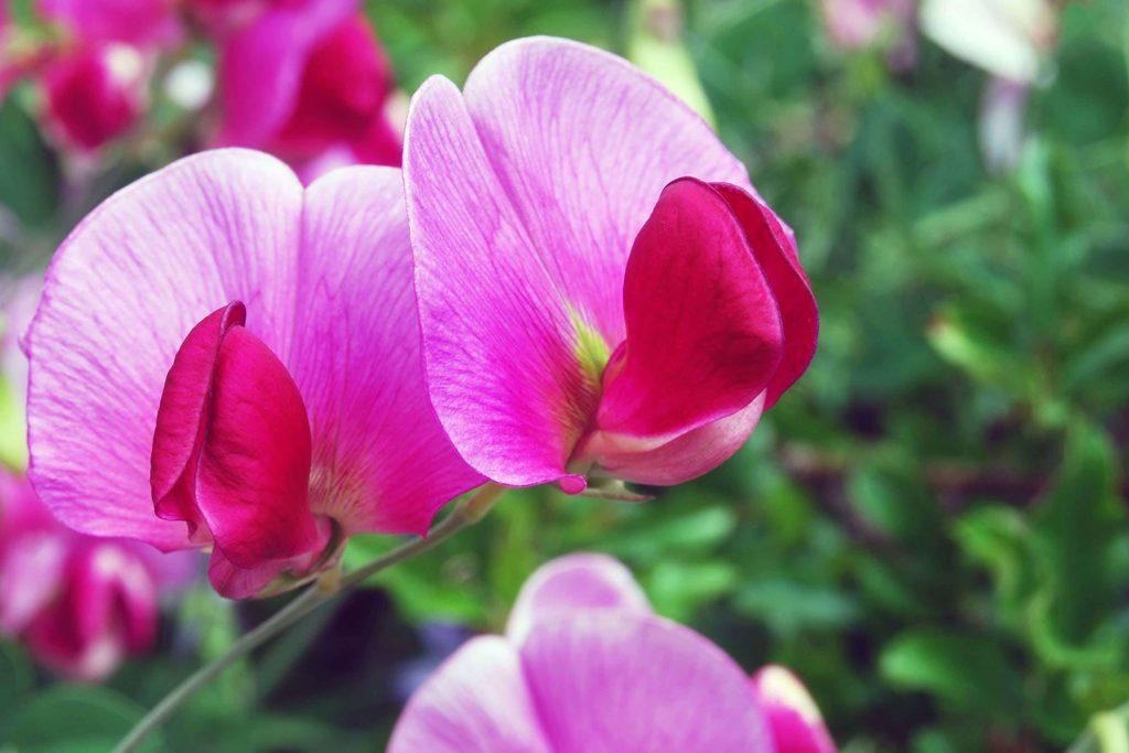 hacer-flor-guisante-azucar